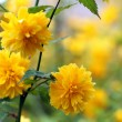 Kerria japonica pleniflora — Stock Photo