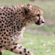 Cheetah - Foto Stock