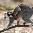 Ring-tailed lemur with cub — Stock Photo #9961001