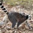Ring-tailed lemur with cub - Foto Stock