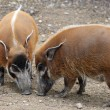 Red river hog - Stock Photo