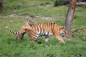 Tiger with cub — Stock Photo