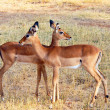 Two Impalas - Stockfoto