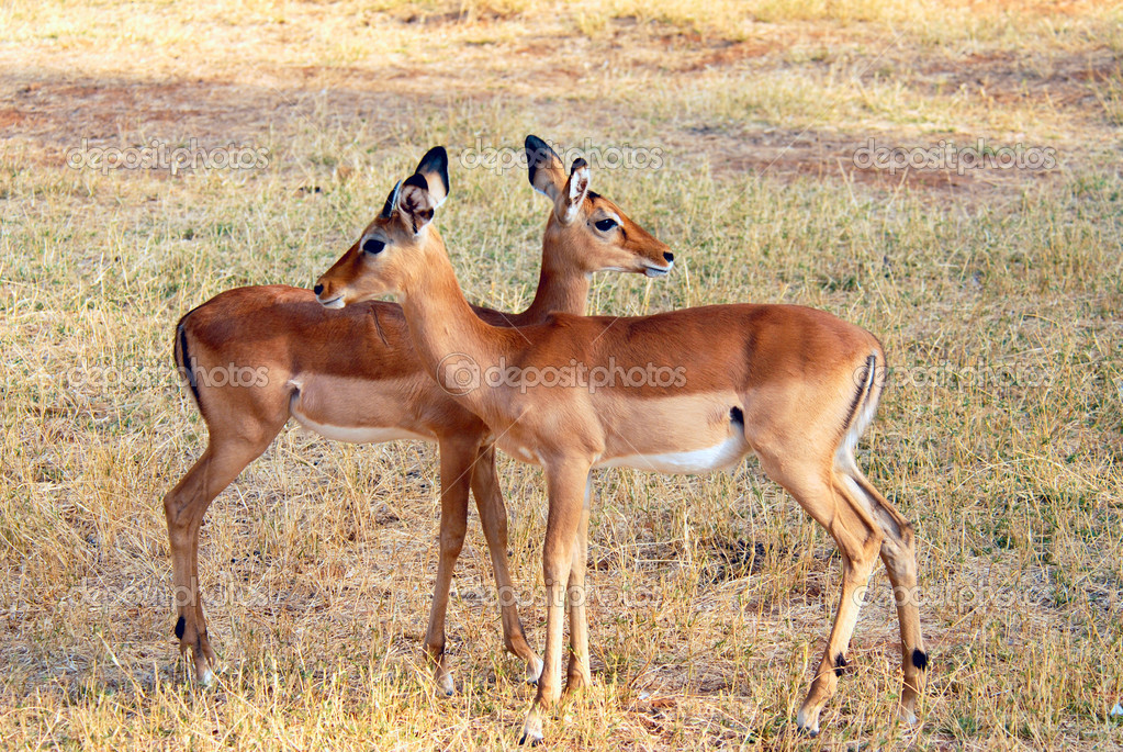 Two Female Impalas in  the Samburu Reserve (Kenya) — Stock Photo #10014368
