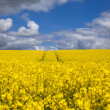 Stock Photo: Canola field