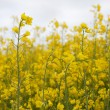 Canola field — Stock Photo #10629200