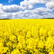 Canola field — Stock Photo