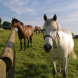 Two Horses in Green Field in British Summer — Stock Photo
