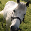 Tilted View of White Horse — Stock Photo