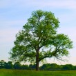 Old Oak Tree in Beautiful Green Field — Stock Photo