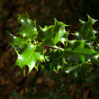 Green Holly Bush Leaves in Winter - Stock Photo