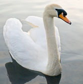 Beau cygne flottant piscine — Photo