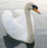 Krásné labutě plovoucí plavání — Stock fotografie