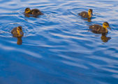 Baby Geese and Ducks Swimming — Stock Photo