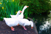 Pure White Geese With orange Beaks — Stock Photo