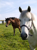 Two Horses in a Field in Spring — Stock Photo