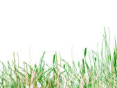 Green Grass and Reeds on White Background — Stock Photo