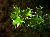 Green Holly Bush Leaves in Winter — Stock Photo