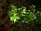 Buisson de houx vert feuilles en hiver — Photo