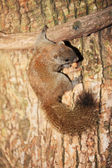 Squirrel — Foto Stock