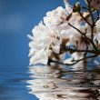 Magnolia flowers in the water — Stock Photo #9705323