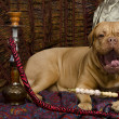 Dog yawning in Arabic interior lying with hookah - Stock Photo