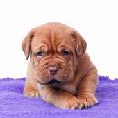 Newborn mastiff puppy — Stock Photo