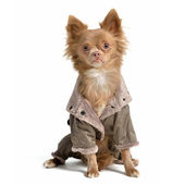 Chihuahua with raincoat — Stock Photo