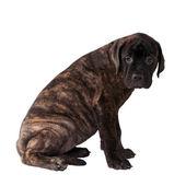Słodki szczeniak labrador — Zdjęcie stockowe