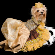 Royalty-Free Stock Photo: Elegant pet dog clothing