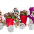 Three chihuahua dogs with Christmas items — Stock Photo