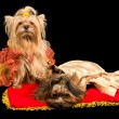 Stock fotografie: Two dressed dogs