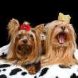 Two royal dogs with crown and gown — Stock Photo