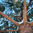 A pine tree — Stock Photo