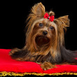 Yorkshire Terrier on red cushion — Stock Photo #8289499