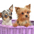 Cute dogs in a wicker basket - Stock Photo