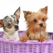 Cute dogs in a wicker basket - Stok fotoraf