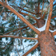 An winter  pine tree — Stock Photo