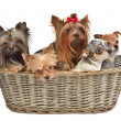 Stock Photo: Five cute dogs in basket