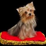 Royal dog on red cushion — Stock Photo #8289556