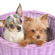 Chihuahua and Yorkshire Terrier puppies in a basket — Stock Photo