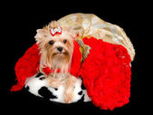 Yorkshire Terrier with gorgeous dress — Stock Photo