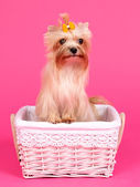 Yorkshire Terrier in a basket — Stock Photo