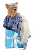 Elegant Terrier on a gift box — Stock Photo