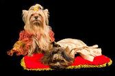 Dos perros vestidos — Foto de Stock