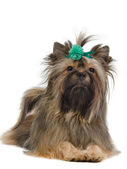 Lying Yorkshire Terrier with green bow — Stock Photo