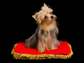 Yorkshire Terrier sitting — Stock Photo