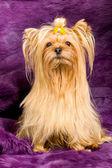 Yorkshire Terrier portrait — Stock Photo