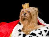 Royal terrier — Stock Photo