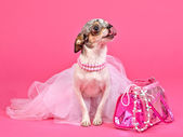 Tiny glamour dog with pink accessories — Stock Photo